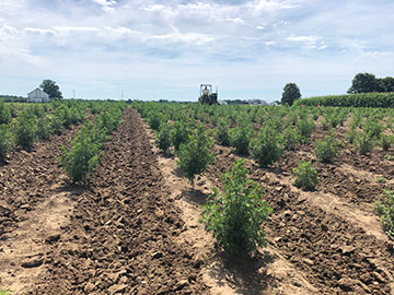 The first crop of artemisia growing in Kentucky.