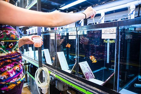 Student feeds fish inside RWU wet lab.